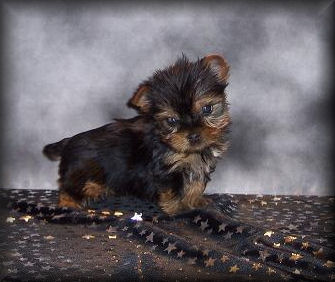 Home Mississippi Breeder Of Yorkshire Terriers Pomeranian Chihuahuas